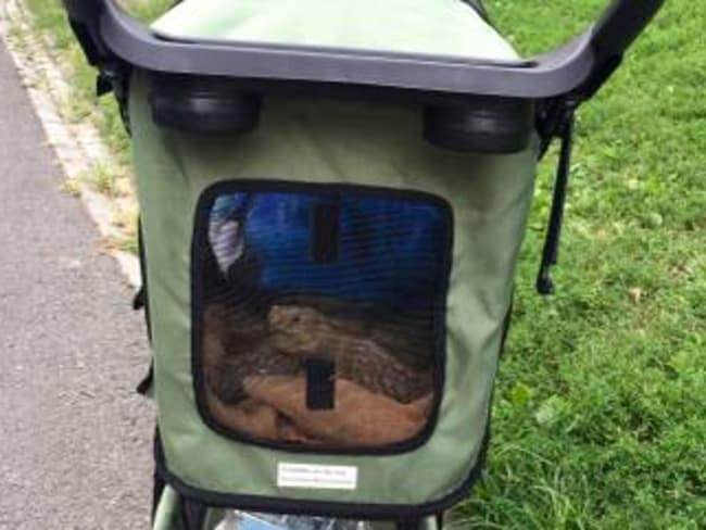 Henry has his very own pet stroller.
