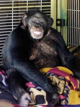 Pet chimpanzee Travis ... shot by police after the attack.