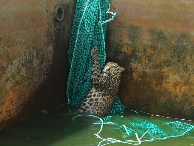 Photos of the Year 2012: a fully grown male wild leopard climbs a net after it fell into a water reservoir tank at a tea estate in Haskhowa, some 45 kms from Siliguri, on June 20. The animal was rescued by the Sukna Forest rescue team from the Mahananda Wildlife sanctuary by lowering a ladder and a net into the tank. Photo: AFP/Diptendu Dutta