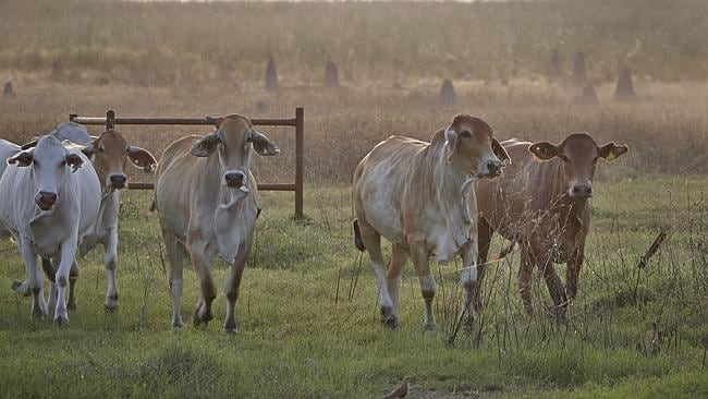Brahman cattle in the Mary River Wetlands Picture: Lisa Perkovic