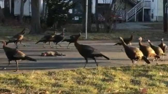 Image result for picture of turkeys circling a dead cat