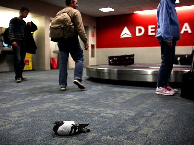 A pigeon near the Delta baggage carousel at Terminal 3 at JFK Airport. Picture: Getty Images/AFP
