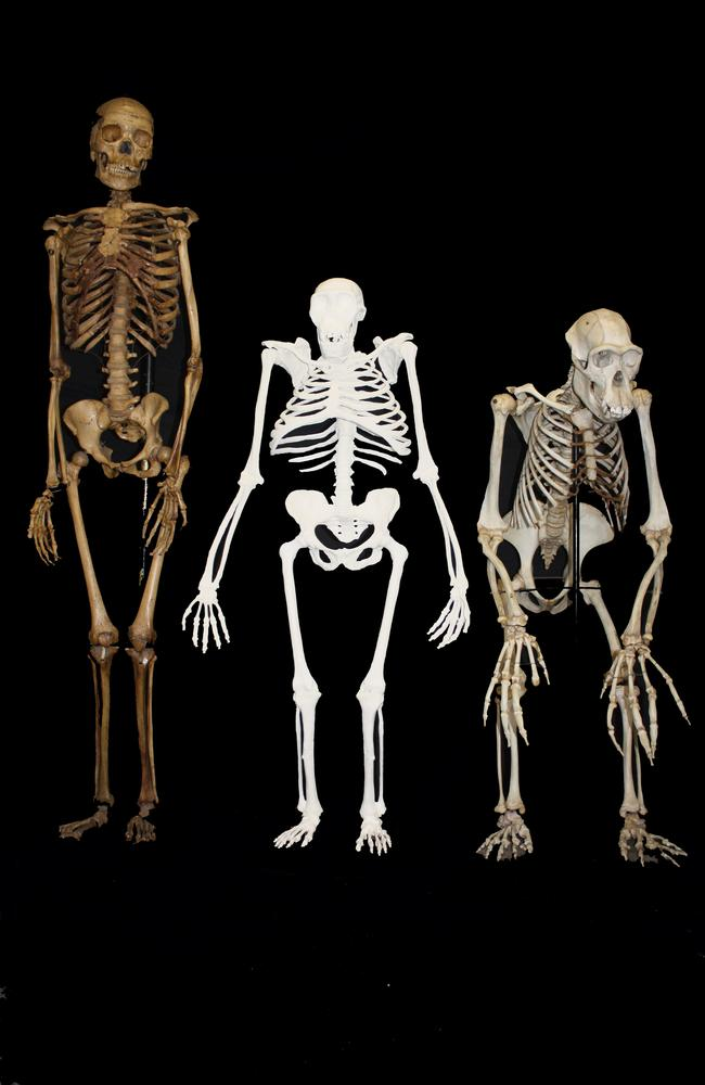 A reconstruction of the skeleton of Australopithecus sediba, centre, next to a small-bodied modern human female, left, and a male chimpanzee. Picture: AP