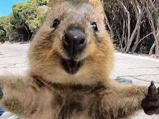 Campbell Jones snapped up this incredible quokka photo
