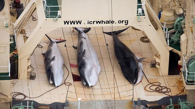 Horrific ... dead minke whales lie on the deck of the Japanese whaling vessel Nisshin Maru in the Southern Ocean.
