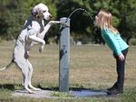 THIRSTY WORK: Jack the English pointer gives Lauren Rowe from Ferny Grove a drink. Pic: Jamie Hanson