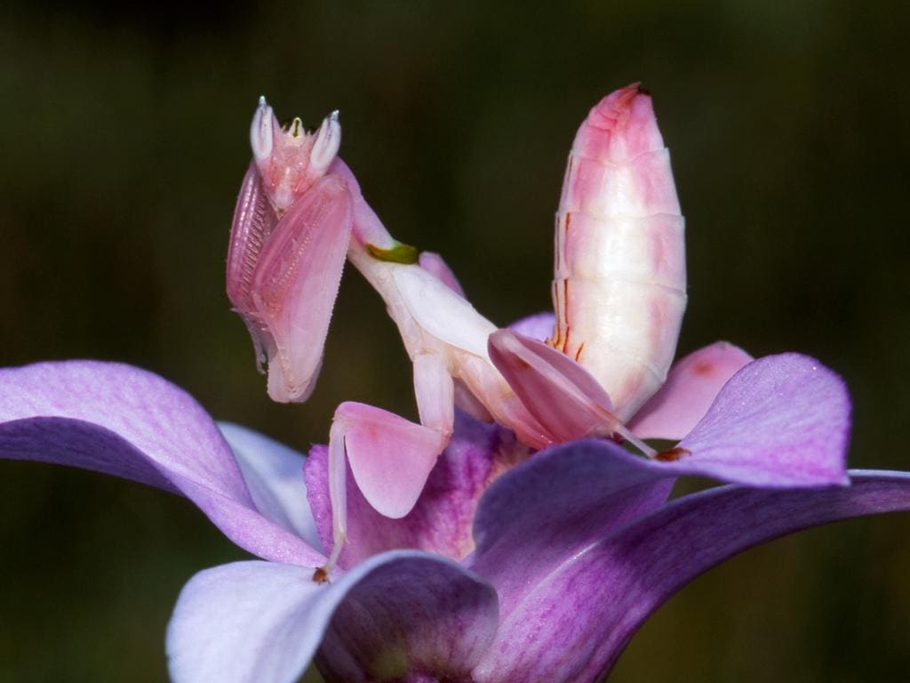 Orchid mantis the super power of this stealthy insect dhlflorist Image collections