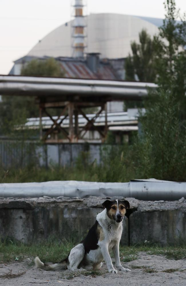 A stray dog stands near the new, giant enclosure, which covers devastated reactor number four at the Chernobyl nuclear power plant. Picture: Getty Images