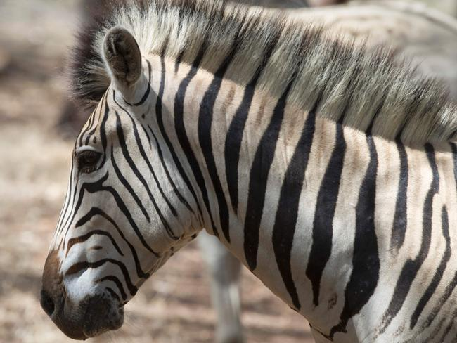Extinct zebra brought back to life
