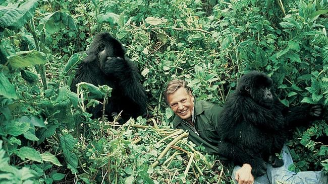 David Attenborough gets up close and personal with the gorillas in Rwanda.