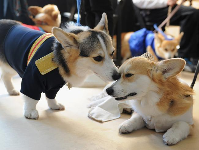Corgis dressed as Prince Harry and Meghan Markle participate in Lifetime's 'Corgi Court' in New York, in celebration of its telemovie Harry & Meghan: A Royal Romance. Picture: Craig Barritt/Getty Images for Lifetime