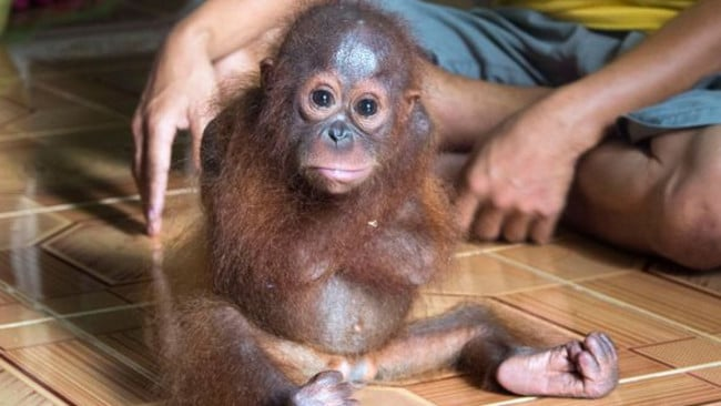 Looking for love ... The orphaned orangutan constantly hugs herself. Picture: Animal Rescue