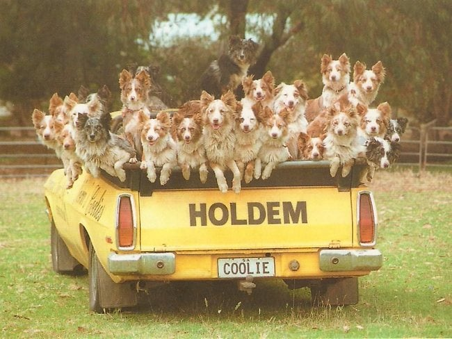 Dogs in ute