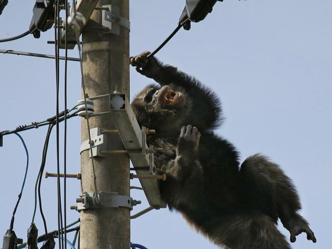 Tranquilliser ... Chacha, the male chimp, falls off an electric pole, after being hit by a sedative arrow in Sendai, northern Japan. Picture: AP
