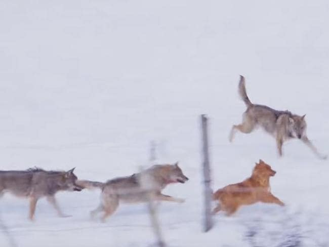 The wolves close in again. Picture: Storyful