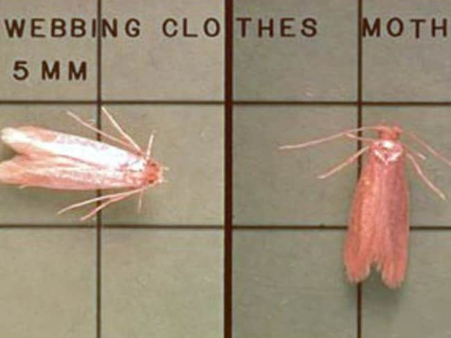 Casemaking clothes moth vs webbing clothes moth - photo#21