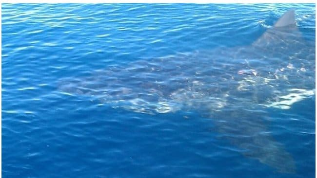 The four metre great white shark spotted by James Prascevic and Alan Falzon. Photo: Supplied