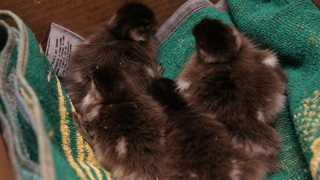 The rescued ducklings. Picture: EMMA BRASIER