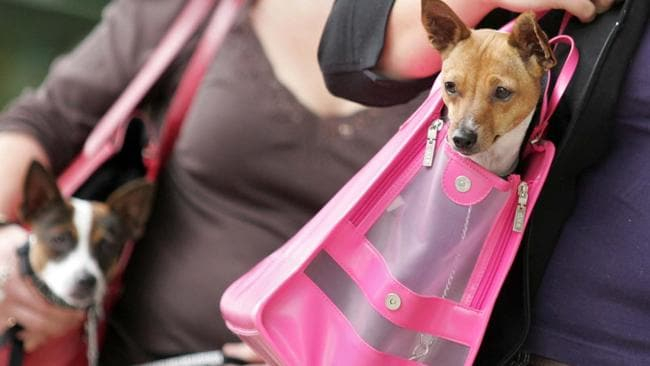 Dogs carried around in handbags are referred to as 'fur babies'.
