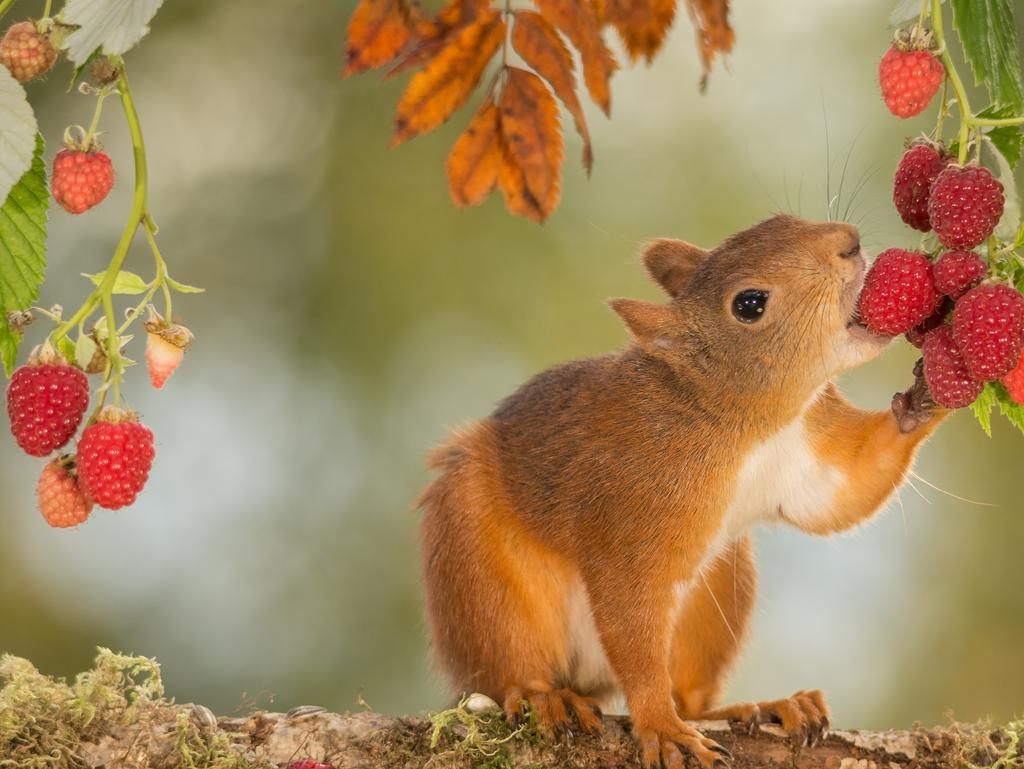 RASBERRY TASTE: A wild red squirrel eating raspberries. Picture: Geert Weggen, Sweden