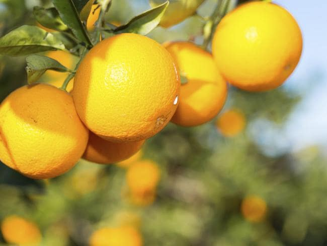 China has developed an insatiable appetite for Australian oranges.
