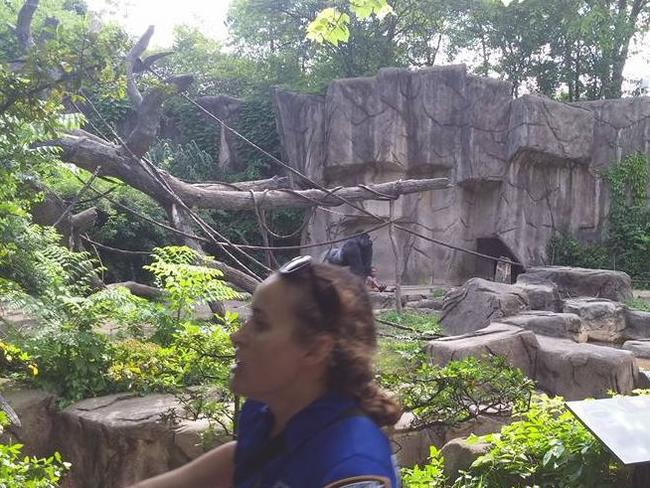 Harambe the gorilla was shot dead inside his enclosure. Picture: Facebook/Tangie J Hollifield