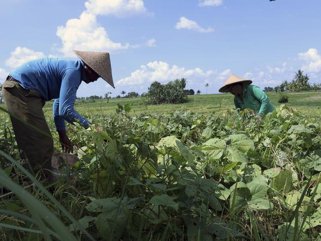Farmers harvest green beans near the site which will be developed into the six-star resort. Picture: AP/Firdia Lisnawati