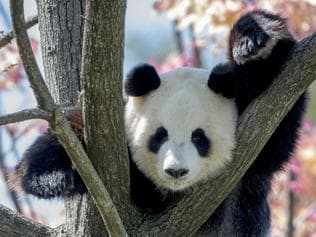 Adelaide's zoo's panda Funi . Picture: Adrian Mann, Zoos SA