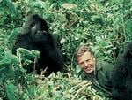 David Attenborough with gorillas in Rwanda.