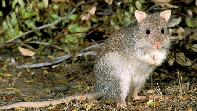 Tiny and easy to miss, the rufous bettong hops like a kangaroo. Picture: Supplied