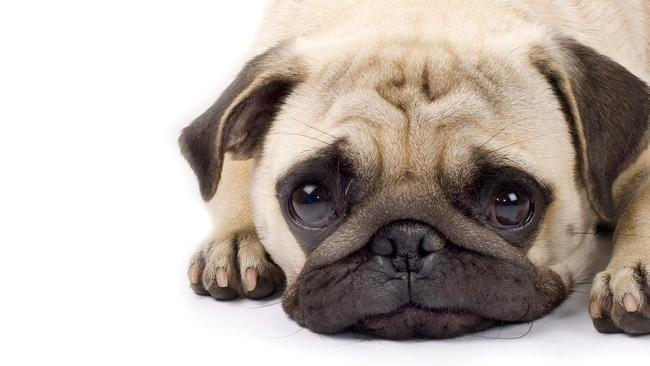 It turns out that your pooch knows exactly what it is doing when it looks up at you with those big, watery eyes. Picture: iStock