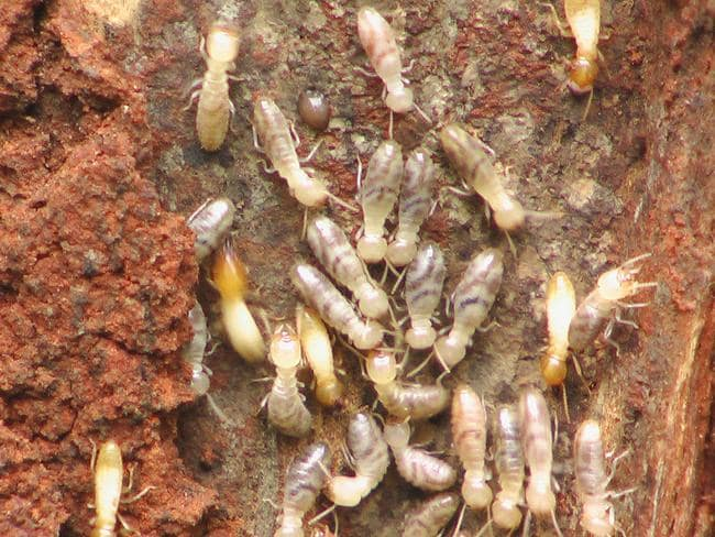 F47Termite: termites can do considerable damage. Picture supplied by Archicentre.