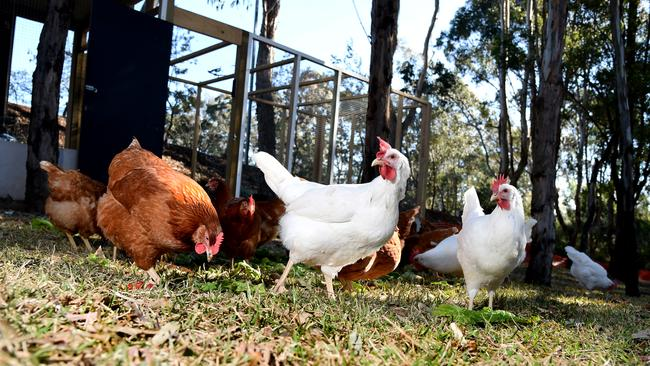 This fine flock provides most of the free range eggs for Sydney's Castle Hill RSL. We salute Castle Hill RSL for their initiative.
