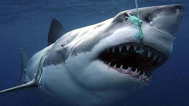 Under the WA plan, hooked sharks are shot dead. Picture: PerthNow