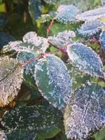 Frost on the leaves at Stanthorpe. Pic: Kerrin Cridland