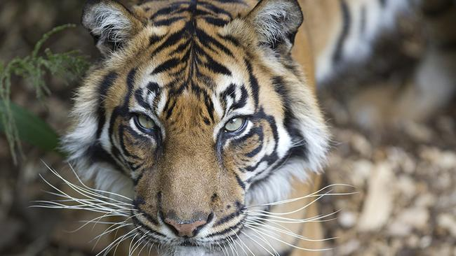 Australia S Oldest Sumatran Tiger Dies