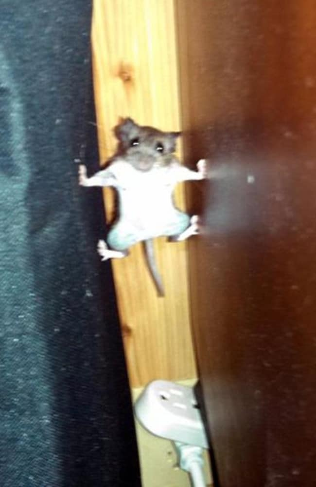 Superhero mouse ... A Facebook user snapped the mouse in this strange climbing position. Picture: Facebook/VR-ZONE
