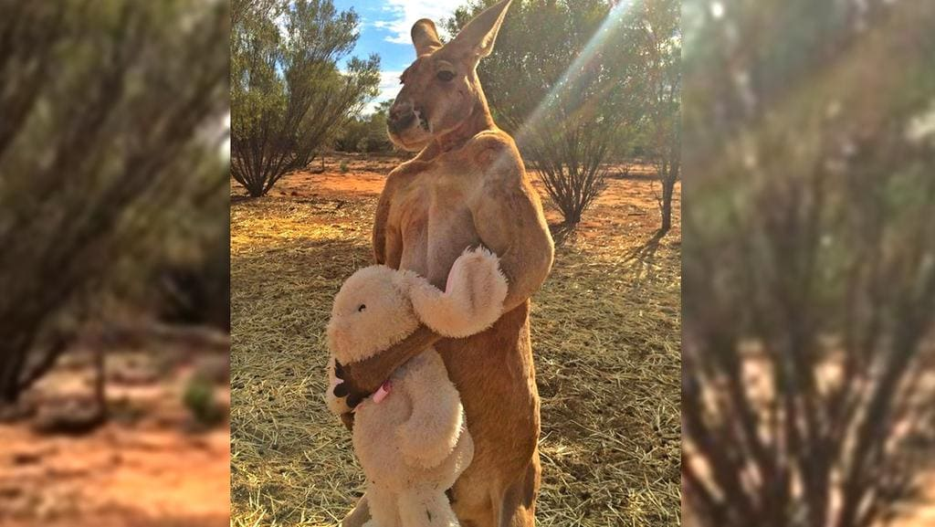 Big Muscly Alpha Male Red Kangaroo Roger Has Shown His Soft Side - Kangaroo sanctuary alice springs