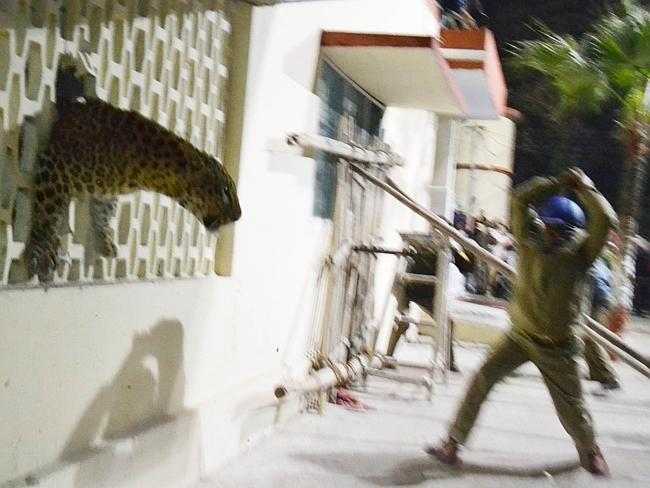 A leopard squeezes ... through a hole in the wall of the Meerut Cantonment Hospital as an official approaches it. Picture: AFP