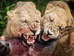 Wild Stories, Runner Up. Lionesses hunting, Chief's Island - Okavango Delta, Botswana. Picture: Ed Hetherington, USA / tpoty.com