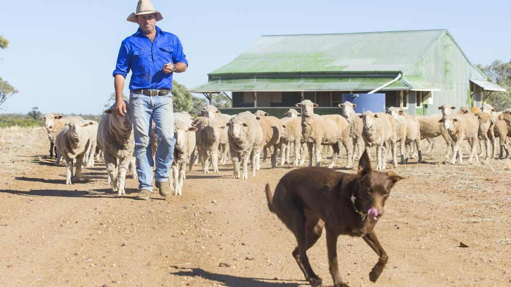 Grazier Dominic Burden and his trusty Kelpie Ollie with sheep on his property at Maclands Station west of Longreach. Picture: Lachie Millard
