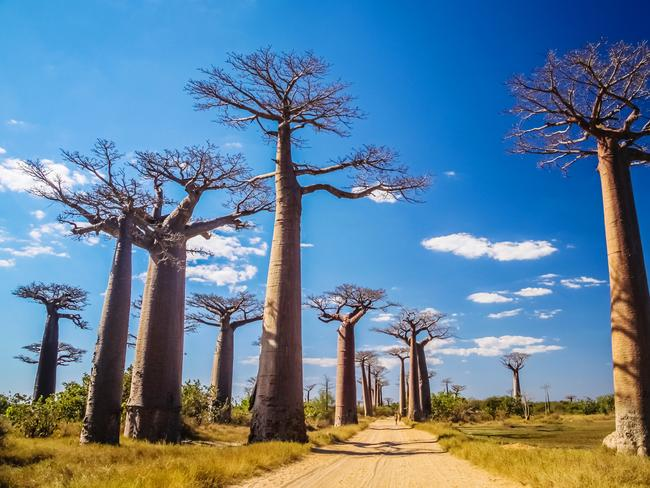 Avenue of the Baobabs near Morondava, Madagascar.