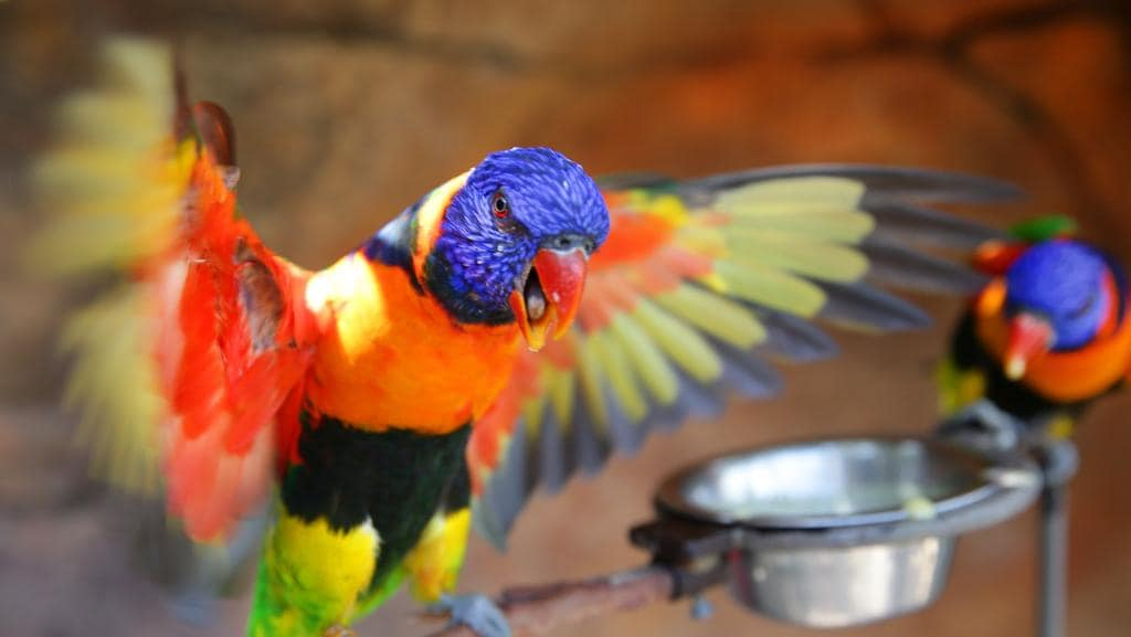 an analysis of rainbow lorikeets Birdbath, food or water how to attract your favourite birds to your garden  when a rainbow lorikeet or kookaburra comes to visit your home, what will you do  stay informed and subscribe to.