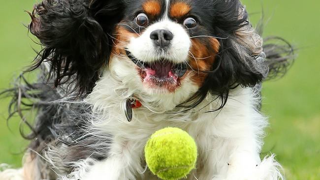 which dog breed is the dumbest  a victorian vet says cavalier king charles