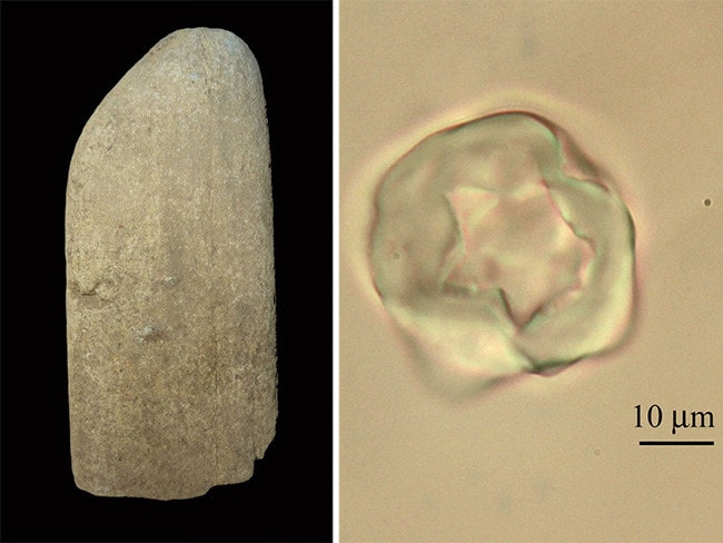 A grinding stone from Grotta Paglicci, Italy, and a starch grain that was found embedded in its surface. Sources: Stefano Ricci, Marta Mariotti Lippi / University of Florence