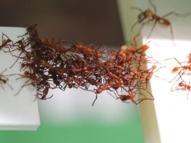Clever little things ... Army ants filmed building moving bridges from their live bodies. Picture: Chris Reid/University of Sydney