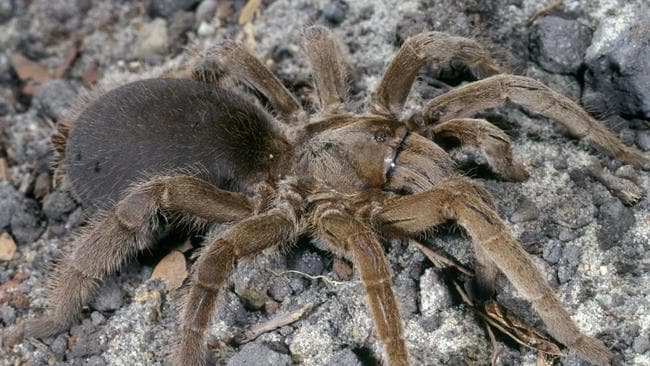 how to get rid of huntsman spiders in house