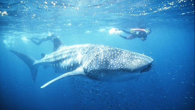 A pair of divers spot a whale shark on Western Australia's Ningaloo Reef. Picture: Supplied