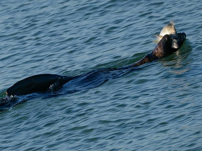 Seal of approval arcto the bull seal chases snapper to for Seal beach fishing