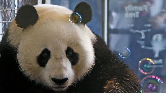 an analysis of the china conservation and research centre for the giant panda in wolong All the wild giant pandas in the world live in western china they are found in dense bamboo forests high up in the mountains the china conservation and research center for the giant panda conservation center.